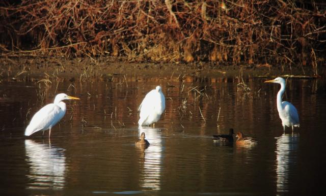 Great White Egrets, Ravensthorpe Res, 2nd January 2017 (Mike Alibone)