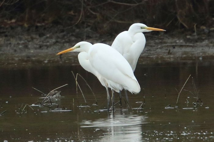Great White Egrets, Ravensthorpe Res, January 2017 (Bob Bullock)