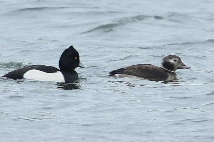 Long-tailed Duck, Stanford Res, January 2017 (Bob Bullock)