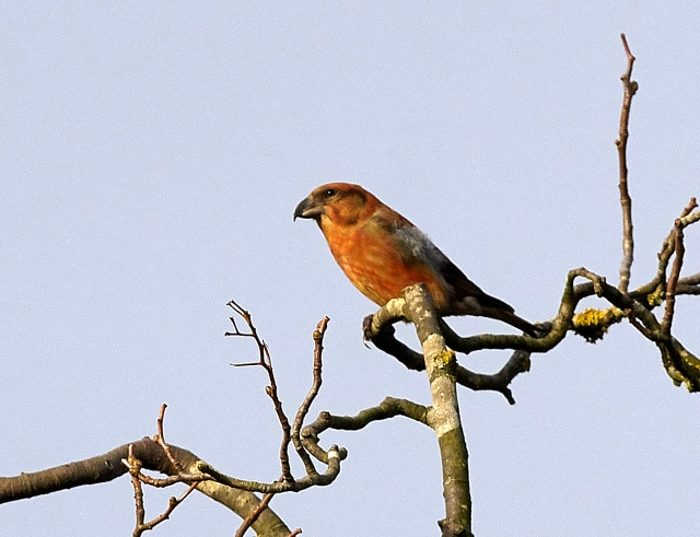 Male Crossbill, Fineshade Wood, December 2016 (Roger Eads)