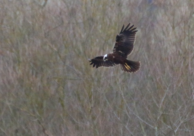 Marsh Harrier, Summer Leys LNR, 3rd January 2017 (Ricky Sinfield)