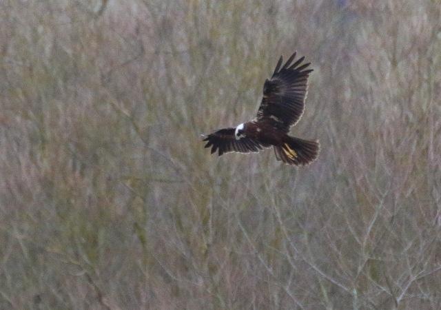Marsh Harrier, Summer Leys LNR, 3rd January 2017 (Ricky Sinfield)