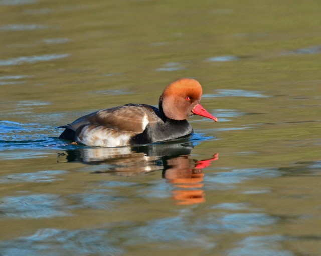 Red-crested Pochard, Pitsford Res, 21st January 2017 (Clive Bowley)