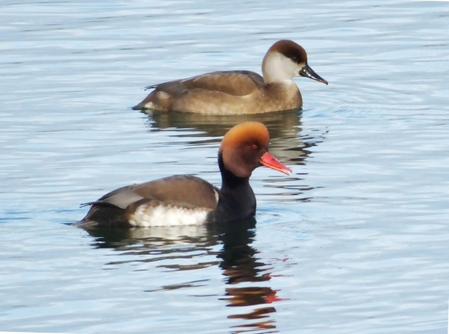 Red-crested Pochards, Pitsford Res, 17th January 2017 (Doug Goddard)