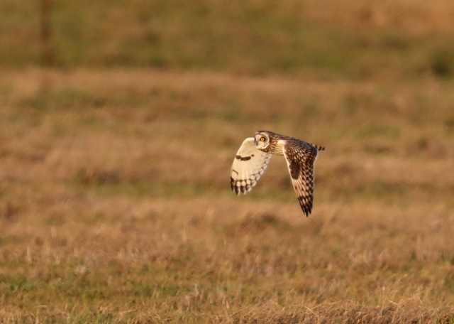Short-eared Owl, Finedon, 2nd January 2017 (Mark Tyrrell)