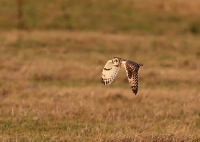 Short-eared Owl, Finedon, 2nd January 2017 (Mark Tyrrell)