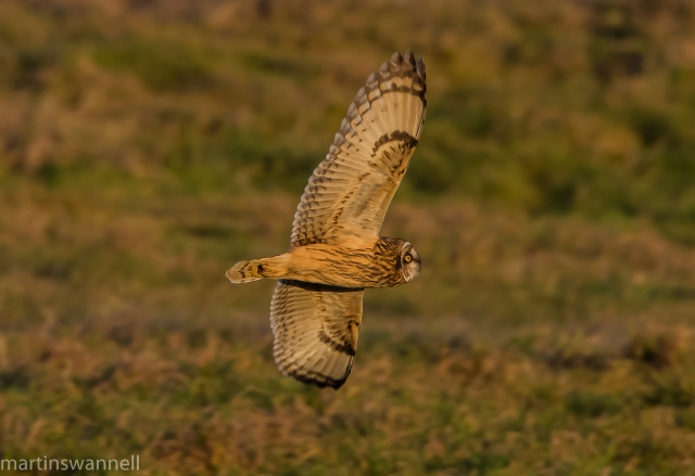 Short-eared Owl, Finedon, 5th January 2017 (Martin Swannell)