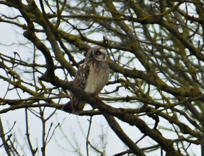Short-eared Owl, Neville's Lodge, Finedon, 18th January 2017 (Doug Goddard). One of four long-staying individuals wintering in this area.
