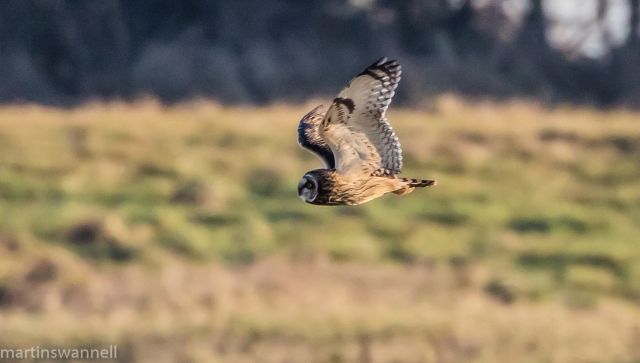 Short-eared Owl, Neville's Lodge, Finedon, 29th December 2016 (Martin Swannell)