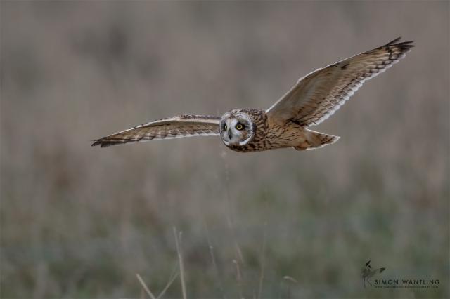 Short-eared Owl, Neville's Lodge, Finedon, January 2017 (Simon Wantling www.simonwantlingphotography.com)