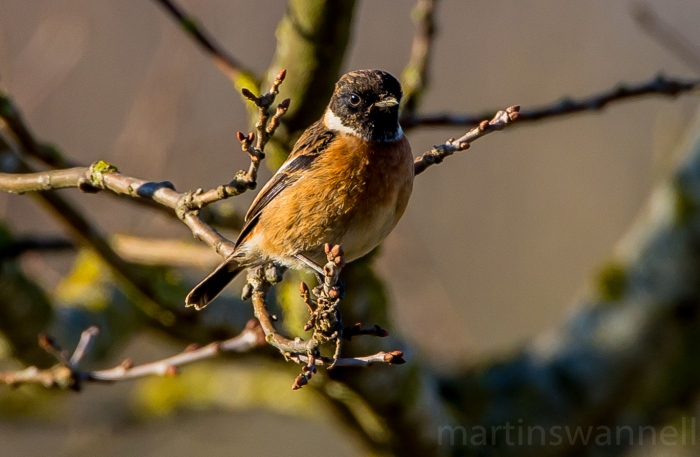 Stonechat, Blueberry Farm, Maidwell, 20th January 2017 (Martin Swannell). A maximum site count of six came from Hollowell Res during the week.