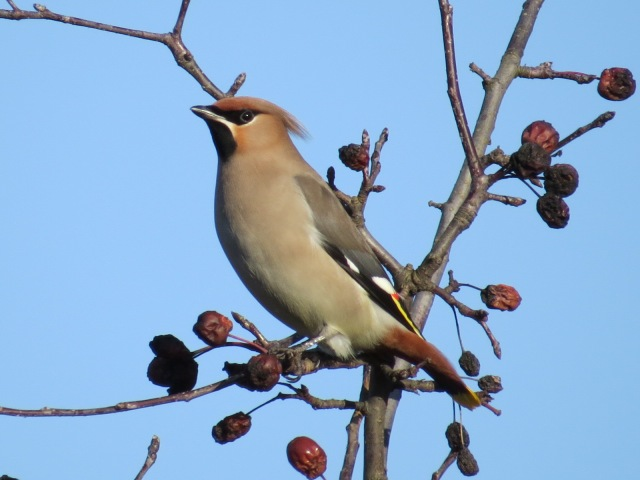 Waxwings, Roade, 2nd January 2017 (Simon Hales)
