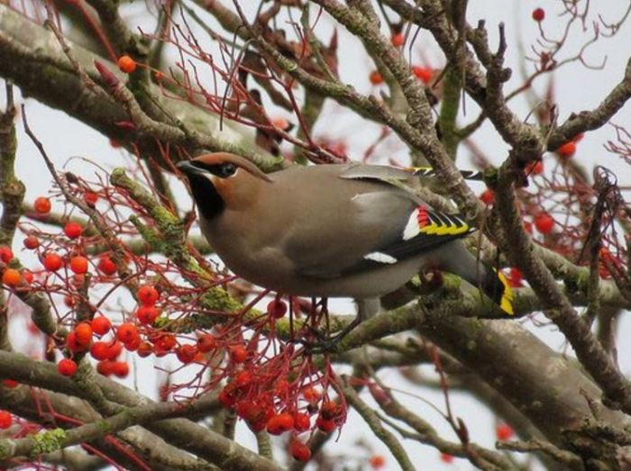 Waxwing, Kettering, 11th January 2017 (Alan Francis)