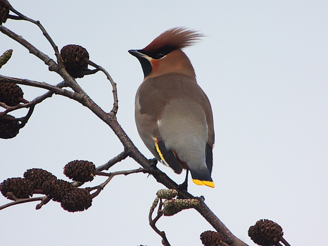 Waxwing, Kettering, 14th January 2017 (Mike Alibone)