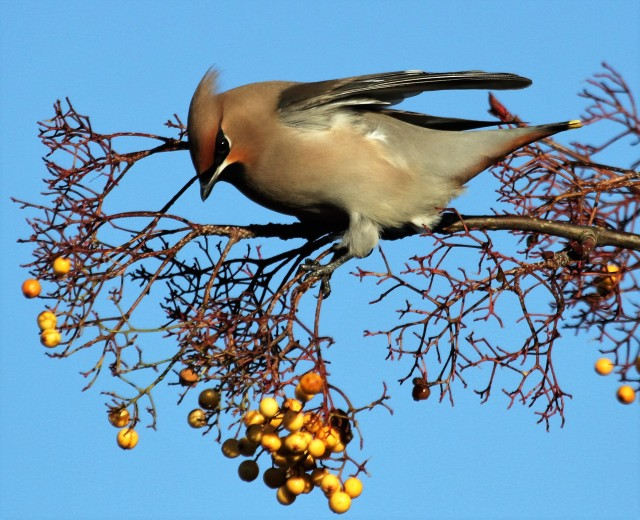 Waxwing, Roade, 2nd January 2017 (Alan Coles)