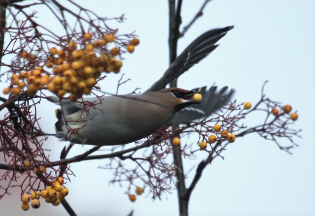Waxwing, Roade, 30th December 2016 (Alan Coles)