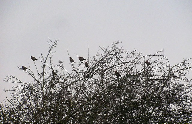 Waxwings, Broughton, 26th January 2017 (Jon Lyles)