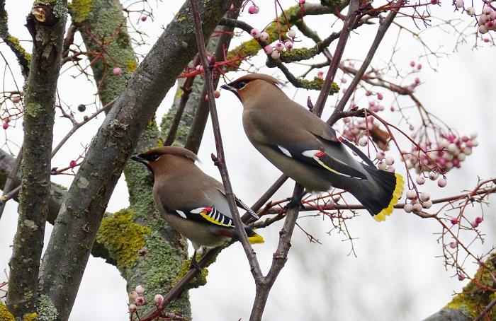 Waxwings, Kettering, 13th January 2017 (Geof Douglas)