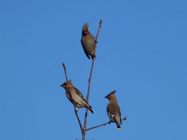 Waxwings, Roade, 2nd January 2017 (Doug Goddard). Note the colour-ringed individual on the left (see text).