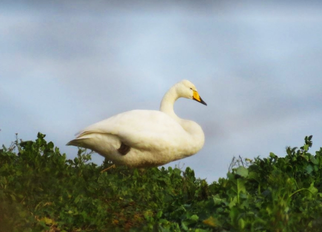 Whooper Swan, Sywell CP, 17th January 2017 (Alan Francis)