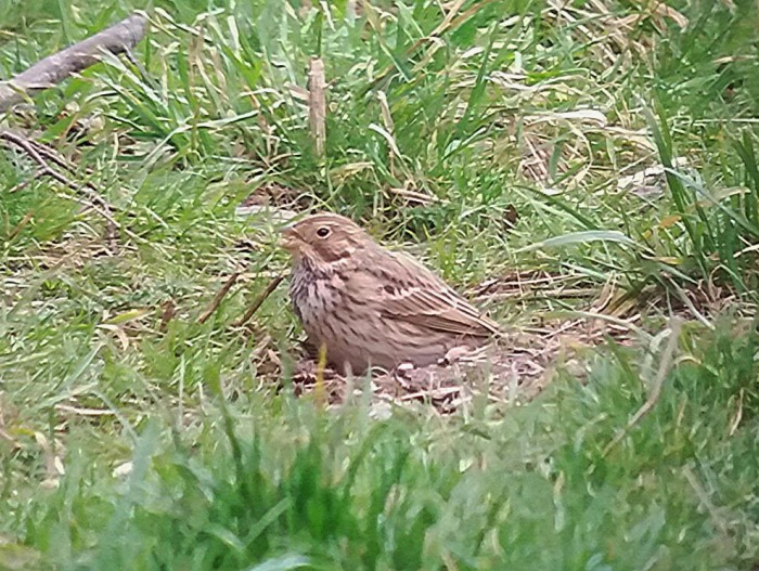 Corn Bunting, Woodford Halse, 19th February 2017 (Ian Dobson)