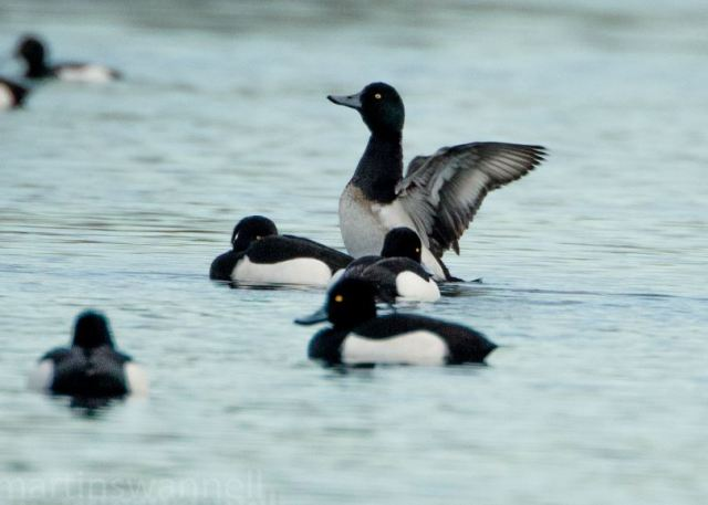 Drake Scaup, Earls Barton GP, 29th January 2017 (Martin Swannell)