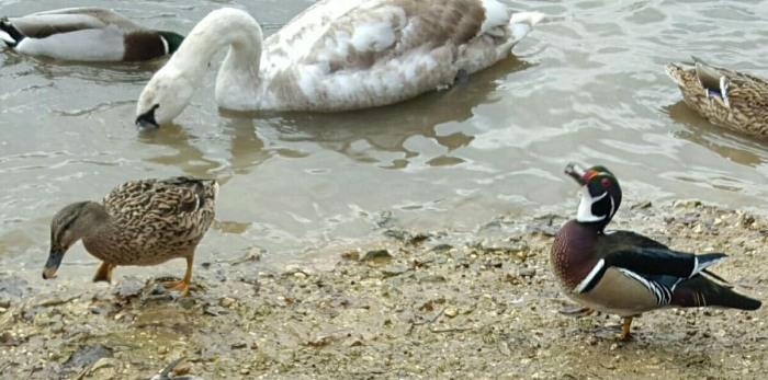 Drake Wood Duck, Shelfley's Lake, Northampton, 14th February 2017 (Sarah & Bob Ansell)
