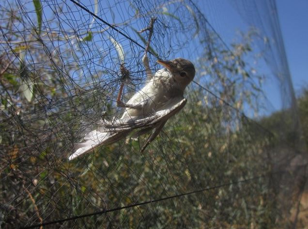 This Eastern Olivaceous Warbler is just one of the millions of illegally killed birds in the Mediterranean basin each year (Photo: BirdLife Cyprus)