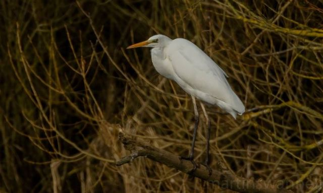 Great White Egret, Pitsford Res, 28th January 2017 (Martin Swannell)