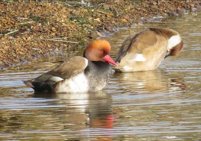 Red-crested Pochards, Pitsford Res, 16th February 2017 (Alan Francis)