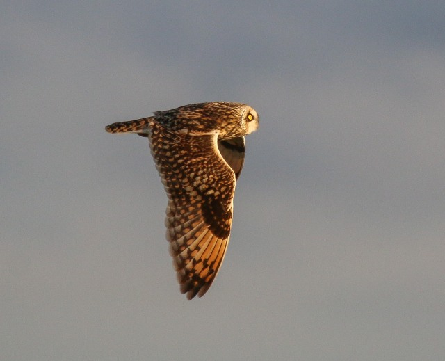 Short-eared Owl, Neville's Lodge, Finedon, 28th January 2017 (Ricky Sinfield)