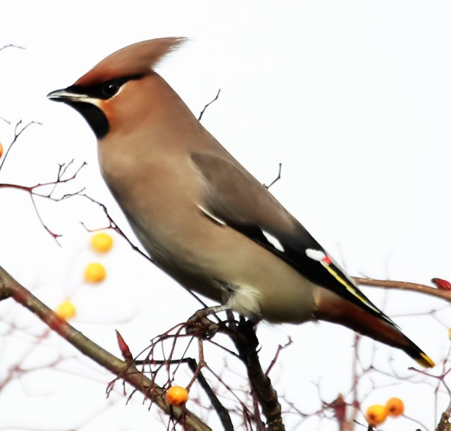 Waxwing, Sywell, 3rd February 2017 (Alan Coles)