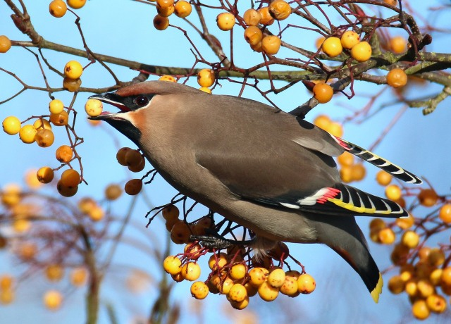Waxwing, Sywell, 4th February 2017 (Ricky Sinfield)