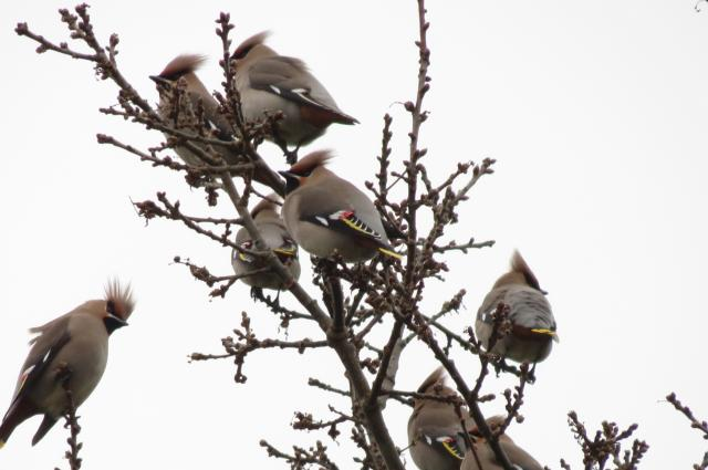 Waxwings, Sywell, 9th February 2017 (Jim Dunkley)